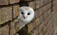 Barn Owl Peeks Out