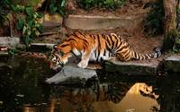 Bengal Tiger Gets A Drink