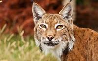 Bobcat Up Close