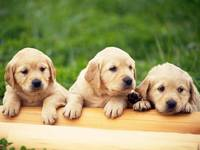 Cute Labrador Retrievers