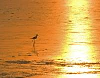 Black Neck Stilt at Dawn