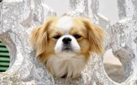 Cute Pekingese Dog