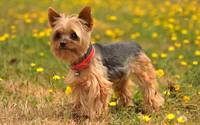 Cute Silky Terrier