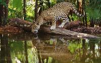Jaguar Reflections