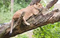 Lion Rests In A Tree
