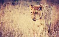 Lioness Blends Into The Tall Grass