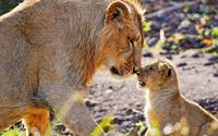 Mother Lioness and Baby Lion Touch Noses