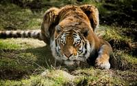Ready To Pounce Bengal Tiger