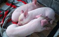 Sleeping Baby Pigs