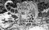 Snow Leopard In The Winter Snow