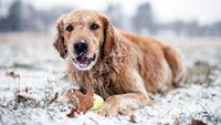 Snow Frosted Golden Retriever Dog
