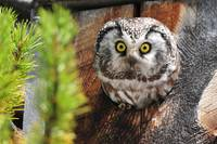 Startled Tree Owl