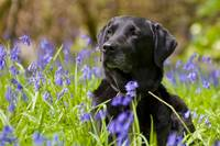 Black Lab Surrounded By Purple Flowers