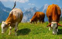 Cows Graze With A Mountain View