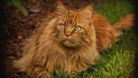 Fluffy Orange Persian Cat