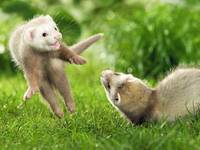 Ferrets Playing In The Grass