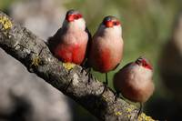 Finches Perched On A Tree