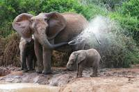 Giving The Elephant Baby A Bath