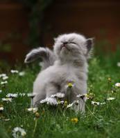 Grey Kitten In The Daisy Garden