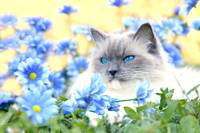 Grey Kitty Sits In Blue Flowers