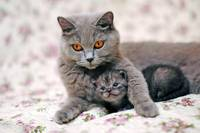 Mama Blue Russian Cat With Kitten