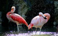 Pink Flamingos In The Rain Drops