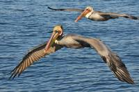 Pelicans Flying At Sea