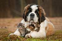 Saint Bernard Dog Cares For 3 Kittens