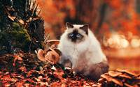 Ragdoll Cat Plays In The Autumn Foliage