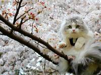 White Cat In A Cherry Blossom Tree