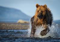 Brown Bear Running In The Water
