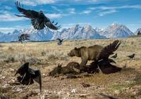 Brown Bear Protects Catch From Vultures