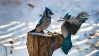 Blue Jay Argument In The Snow