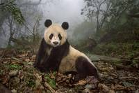 Great White Panda Bear