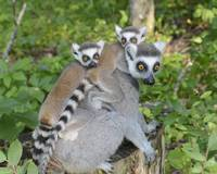 Mom Ring Tailed Lemur With Babies