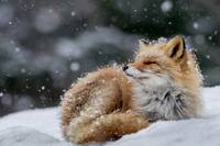 Red Fox Pup In The Snow