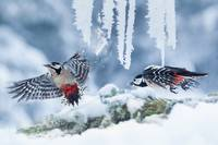 Sparrows Play In The Snow