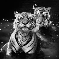 Tigers Playing In The Water