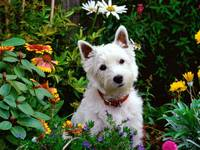 West Highland Terrier In The Garden