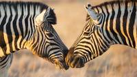 African Zebras Kissing