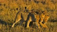 African Lionesses in Kenya, Africa