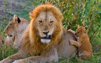 African Lion Cub Playing With Dad, Kenya, Africa