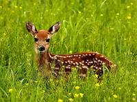 Baby Deer Fawn In The Green Grass