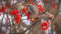 Bohemian Waxwing Birds Eating Rowan Berries