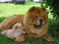 Chow Chow Mom And Her Baby