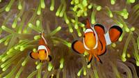 Clown Anemone Fish Nemo