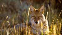 Coyote Roams In Black Canyon Plains, Colorado,USA