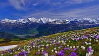 Early Blooming Spring Crocus Flowers Mountain View