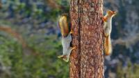Eurasian Red Squirrels in Finland
