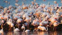 Pink Flamingo Colony in Lagoon, France